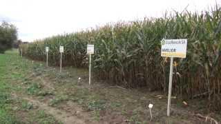 Video Uprawa kukurydzy w polu MP3, 3GP, MP4, WEBM, AVI, FLV November 2017