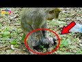 OMG! Young mom wean her baby so hardly|So pity baby cry loudly cos hungry milk much|Monkey Daily 767