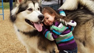 Video Alaskan Malamute Dog Playing And Showing Love To Babies Compilation - Dog Loves Baby Videos MP3, 3GP, MP4, WEBM, AVI, FLV April 2019