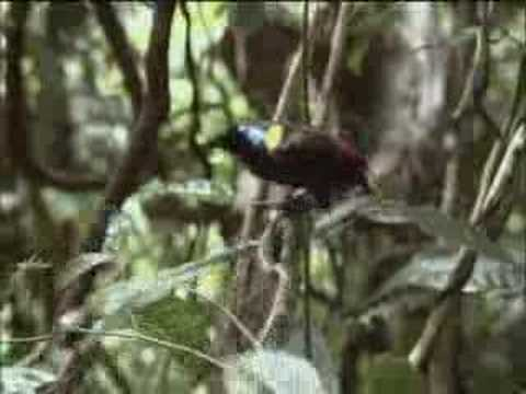 David Attenborough Finds The Rare Exotic Wilson's Bird Of Paradise – BBC