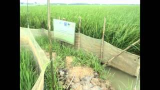 Hình ảnh Mô Hình Xen Ghép Lúa Chịu Mặn - Cá Nước Ngọt