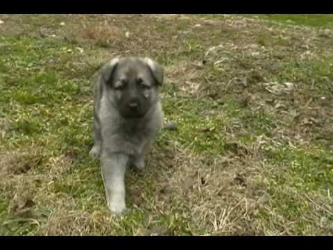 Jasmines Miss Fire and Ice Silver Sable Female Puppy