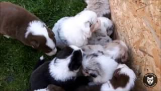 En visite chez les bergers australiens d'Audrey !