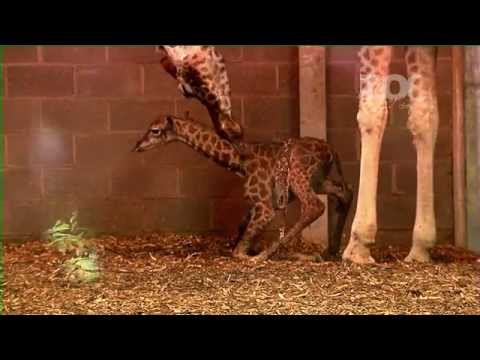 A newborn baby giraffe takes its first steps in Dublin Zoo. The Zoo Thursday 7pm RTE One
