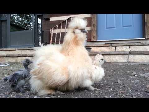 Video Fluffy Mama Silkie Hen & Chicks Snuggling download in MP3, 3GP, MP4, WEBM, AVI, FLV January 2017
