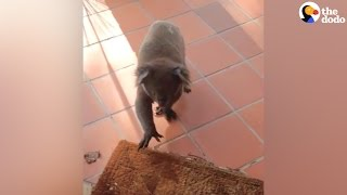 Koala Walks Into Woman's House | The Dodo