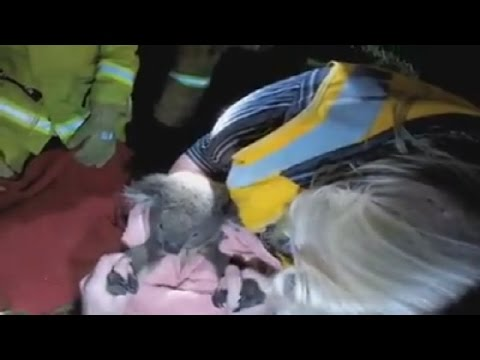 Koala revived using CPR after being hit by car