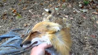 Cute Fox Acting Like A Dog
