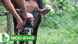 Bí quyết khống chế bệnh lở mồm long móng trên đàn bò