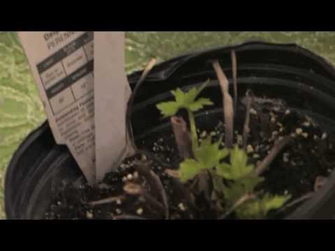 Flower Gardening Tips : How to Grow Delphinium