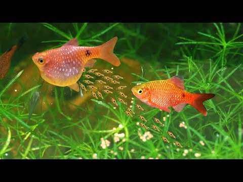 How to Breed Rosy Barb fish (finally secrets revealed)