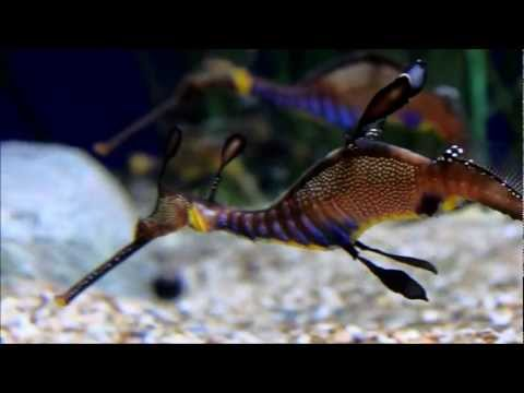 dragone foglia - il cavalluccio marino più raro del mondo