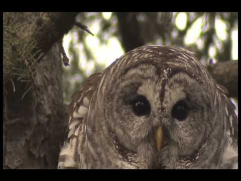 owl - Incredible barred owl hooting, spring courtship vocalizations