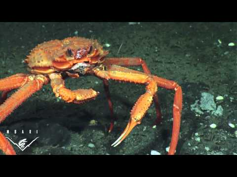 Crab - This video was recorded during an expedition led by MBARI Senior Scientist Peter Brewer that was exploring methane gas deposits off the coast of Vancouver Is...