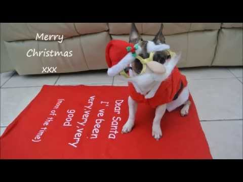 Elmo Staffy x Chihuahua – Tricks with a Christmas twist