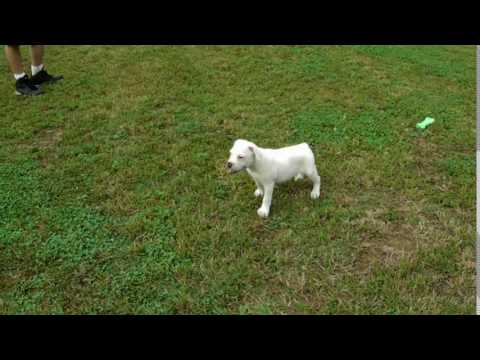 Dolly 11 weeks playing around in the yard