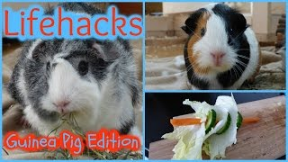 Here are 5 Lifehacks: Guinea Pig Edition. These are 5 useful tips for guinea pig care: 1) Re-grow carrot greens 2) tip for cutting your guinea pigs' nails 3) make a ...