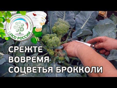 Срежьте вовремя боковые соцветия брокколи. Сбор урожая капусты брокколи.