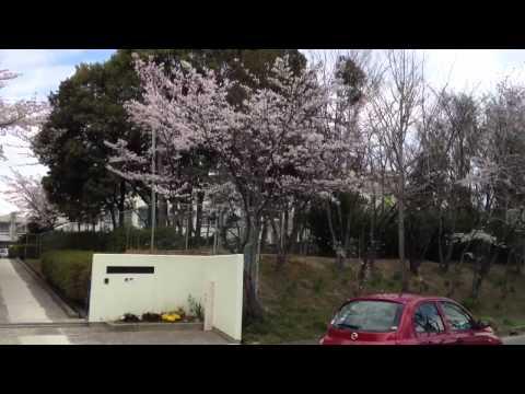 御池台小学校前の桜 2012.4.6
