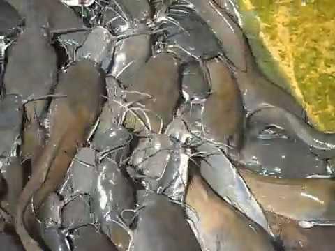 Magur Fish Cat Fish video taken by Marin