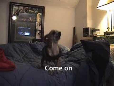 Talking Chihuahua – Curses like a sailer!!!