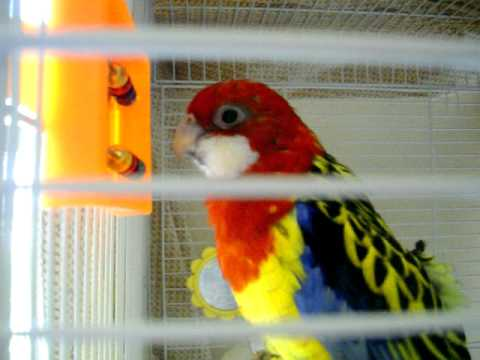 Rosella Parakeet sings Andy Griffith theme song