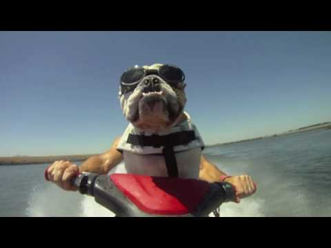 JetSkiing Bulldog; Diesel the jet skiing bulldog