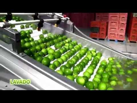 Persian Limes of Mexico – De Alba Citrus