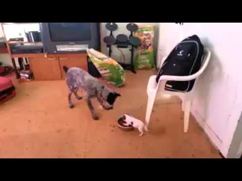 Dog Food Fight Teacup Chihuahua Wins