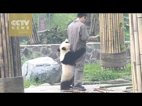 Watch: Playful giant panda can't let zookeeper go (видео)