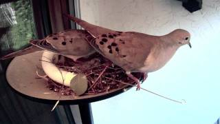 Doves chicks die in nest; How the parents reacted
