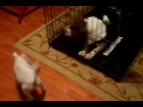 Basset Hound vs, Bull Terrier funny dogs