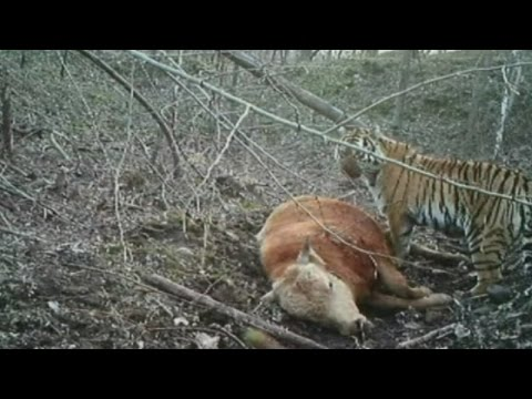 Tiger - Subscribe here: http://bit.ly/1bmWO8h Video footage released by China's Jilin Forestry Department shows a wild Siberian tiger feeding on an ox. On Tuesday, the day marking Global Tiger Day,...