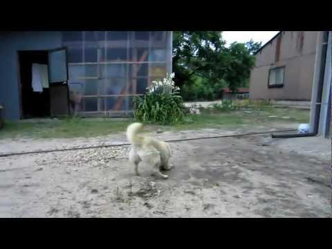 【鳥取】羊そっくり犬現る!