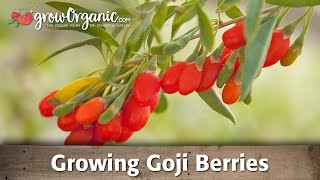Growing Goji Berries