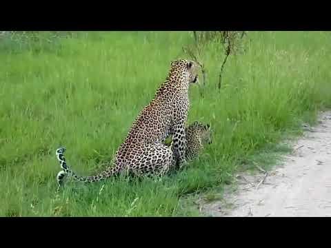 Леопарды в спаривании и бедные женщины принимают несколько укусов на спине - DomaVideo.Ru