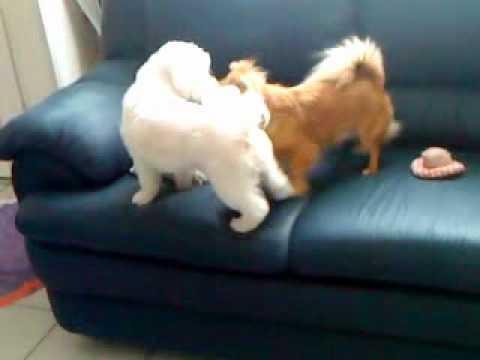 chien qui jouent (bichon chihuahua)
