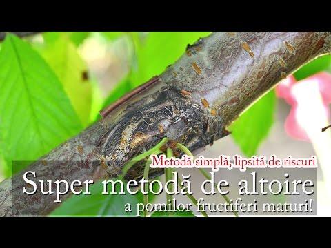 altoire - Pentru o explicare mai în amănunt a metodei, citiţi şi articolul de pe paradisverde.ro. Altoirea se poate face şi primăvara devreme prin metoda descrisă AICI...