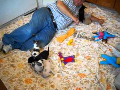 Oregon chihuahua puppies  http://www.chihuahua-puppies.net