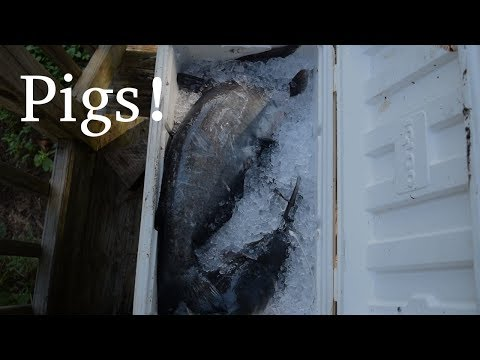 Caught Some Pigs! Blue Catfish Lessons & Blue Catfish Tips