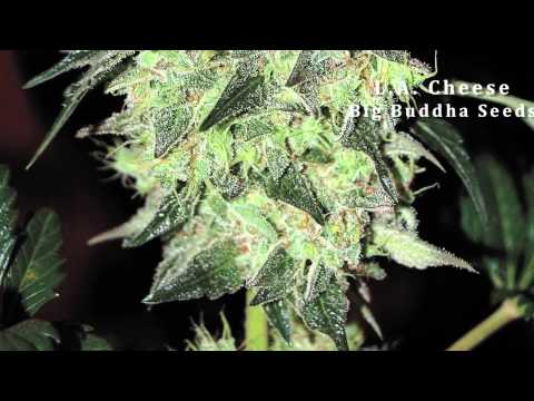 2012 Top 10 Cannabis Strains