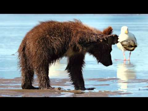 Bears Clip 'Digging Up Clams'