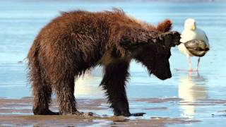 Nonton Disneynature S Bears Film Subtitle Indonesia Streaming Movie Download