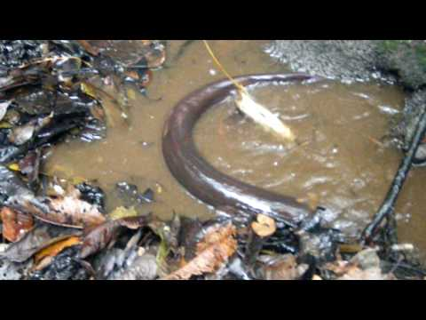 feeding electric eels near Tahuayo Lodge in the Amazon Jungle