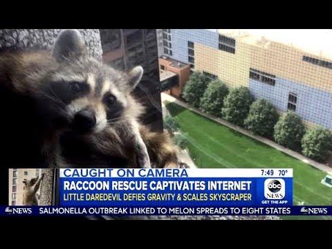 Update On The #mprraccoon Raccoon (GMA)