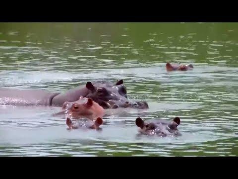 Erbe des Drogenbarons: Escobars vergessene Nilpferde in ...