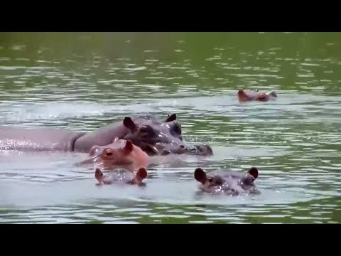 Erbe des Drogenbarons: Escobars vergessene Nilpferde  ...