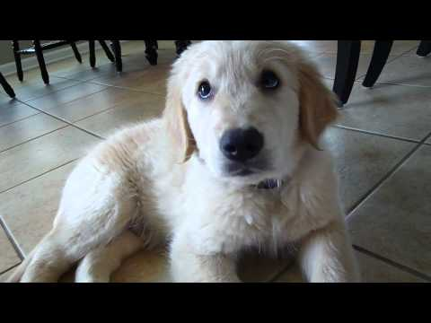 golden retreiver - Our new Golden Retriever puppy! :) ** We've had him for about 3 weeks now, so he's already looking SO much different than this! These are just his first few ...