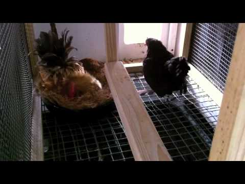 Frizzled Serama rooster shows a hen how to lay an egg