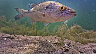 Video Largemouth Bass Eats Bait Underwater | SUPER CLEAR Footage MP3, 3GP, MP4, WEBM, AVI, FLV Januari 2019